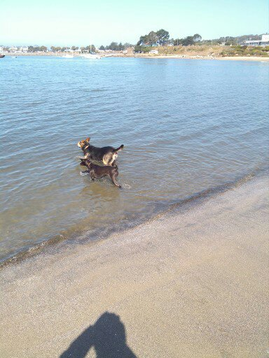 Cassi And Copernicus Wade Into the Water 9-22-2012.jpg